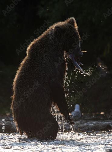 Silhouette of brown bear , standing on hind legs Fototapet