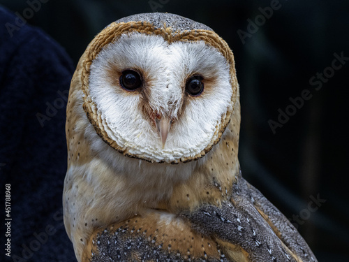 Leinwand Poster barn owl bird of prey close up portrait