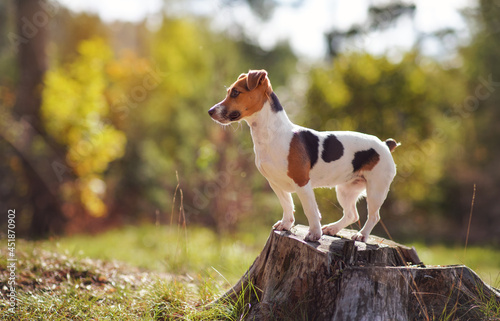 Obraz na plátně Small Jack Russell terrier dog standing on tree stump looking to side, sun shine