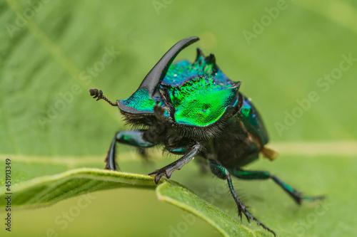 Photo Rhinoceros-horned scarab beetle in Jocotepec, Jalisco, Mexico