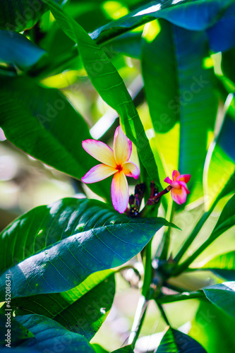 Fototapeta Hawaiian flower