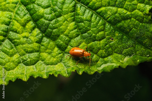 Photo Pumpkin beentle Cucurbit Leaf Beetle or Yellow Squash Beetle it is classified as one of the insect pests
