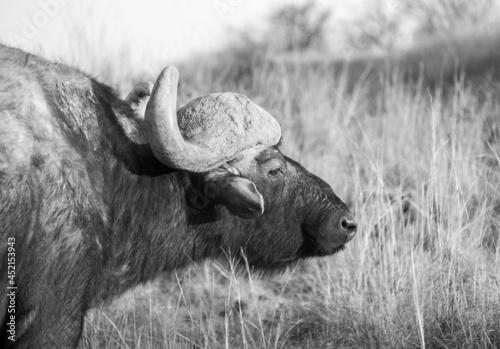 Obraz na plátně Cape Buffalo in a nature reserve near Pretoria, South Africa