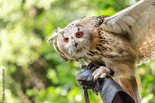 Fotografiet Portrait of a siberian eagle owl, siberian Uhu