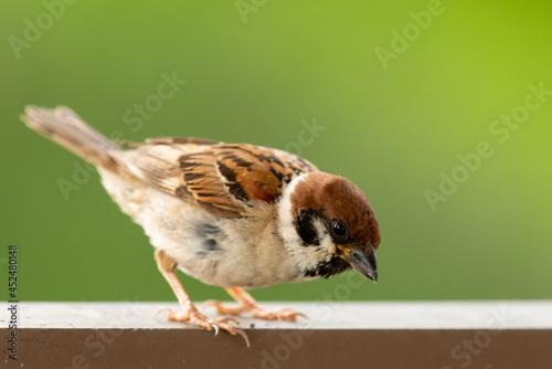 Obraz na płótnie sparrow on a fence