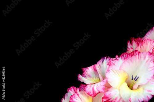 Photo White-pink gladioli on a black background, close-up.