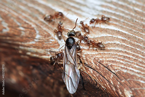 Macro of the Colorado Field Ant queen emerging on wood Fototapet