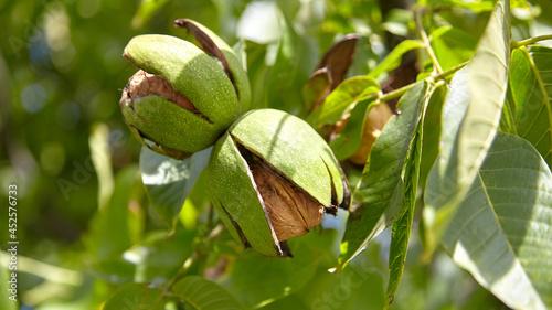 Fotografiet Walnut tree with walnut fruit in pericarp on branch