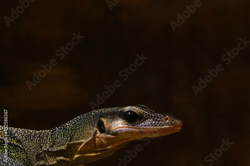 Photo Close-up on a dark monitor lizard in the park.