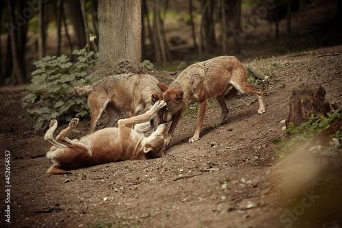 Group of three wolves on summer forest location Tapéta, Fotótapéta