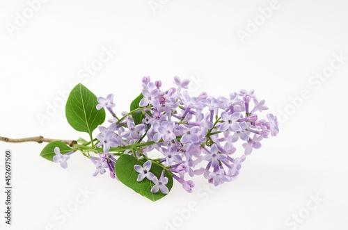 Valokuvatapetti Lilac