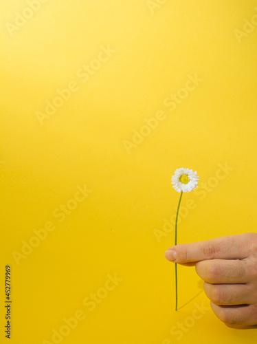 Fingers holding daisy flower on yellow background. Tapéta, Fotótapéta