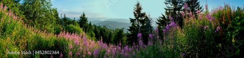 Foto Panorama of Ivan tea flowers in the mountains, green trees and blue sky, sunny day