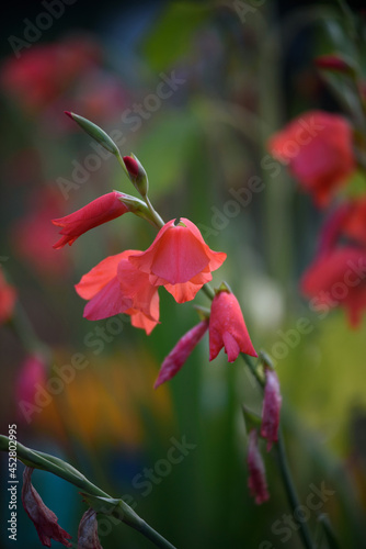 Canvas Print Close-up of vivid red gladioli
