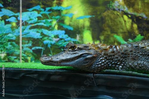 Fotografie, Obraz Crocodile in a terrarium close up (Crocodilia)