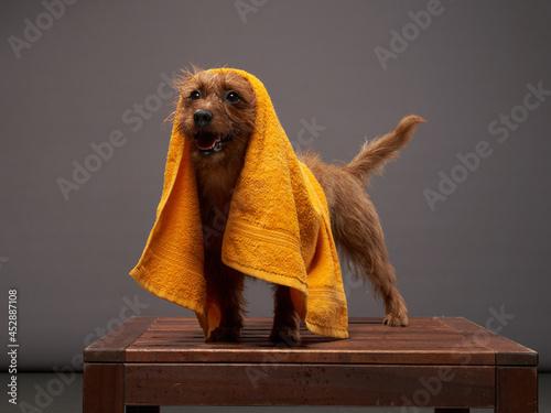 Fotografie, Obraz wet dog after shower