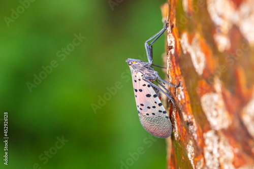 Obraz na płótnie Lycorma delicatula, Lycorma delicatula is a planthopper and infesting