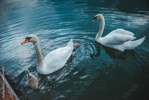 Obraz na plátně swans family in lake water close up