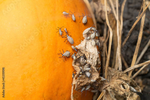 Canvas Squash bugs on a pumpkin in a field nymph stage