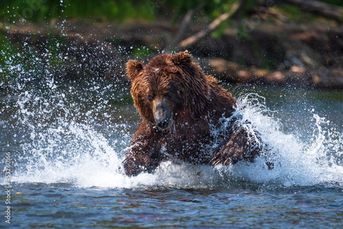 Obraz na płótnie Kamchatka, a bear is preparing to catch a sockeye salmon in the lake, splashes are flying in all directions