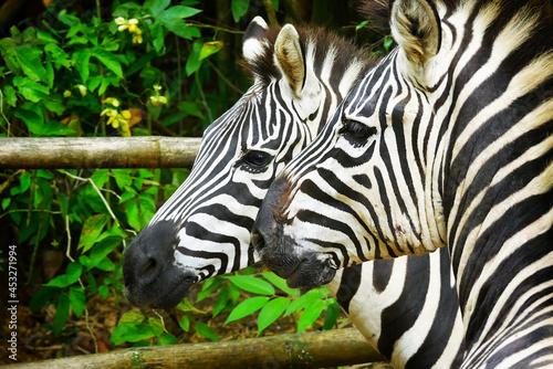 Shallow focus of two zebra in captivity Fototapet