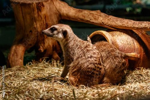 Obraz na plátně Beautiful meerkats are played