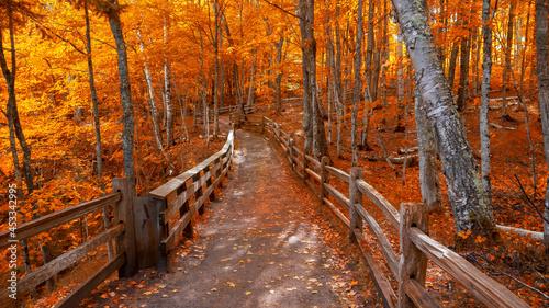 Fotografia Bright autumn trees along boardwalk in late autumn in Michigan upper peninsula
