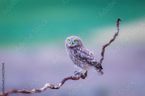 Carta da parati Little owl. Colorful nature background. Athene noctua.