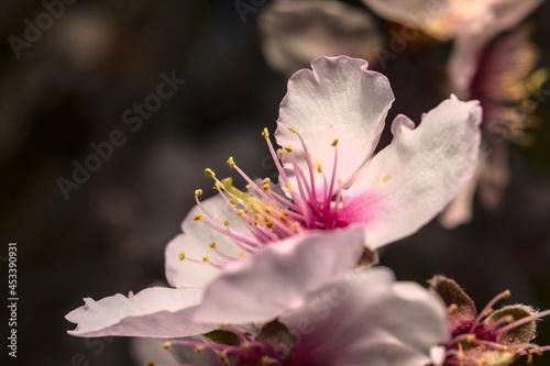 flor del almendro en crecimiento o florecida Fotobehang