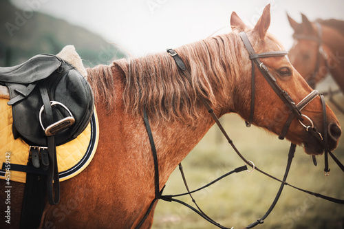 Canvas-taulu Portrait of a beautiful sorrel horse with a bridle on its muzzle and a leather saddle and a yellow saddlecloth on its back, which passes by another horse on a cloudy day