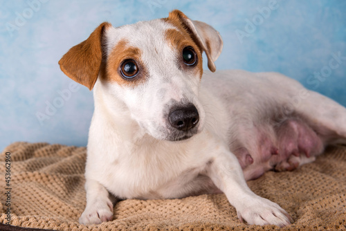 Fotografia Jack russell terrier female close up portrait
