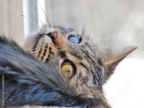 Fotografie, Obraz Brown Tabby Cat Close up Face upside Down Whiskers