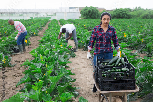 Fotografía Focused peruvian woman working on farm field, carrying handcart with freshly picked organic zucchini