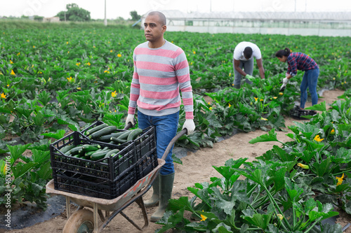 Fotomural Focused Hispanic farmer carrying handcart with freshly picked organic zucchini grown on farm field