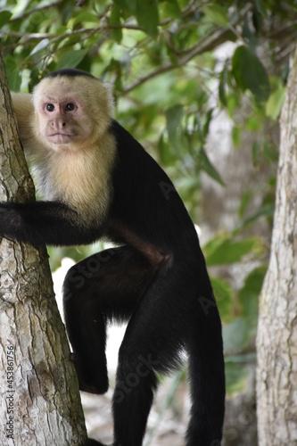 Canvas Print Capuchin (Cebus capucinus) in Costa Rica