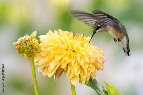 Fototapeta premium Hummingbird on flower