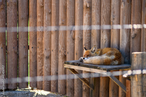 Fotografiet Red fox in the zoo in a cage. Animals in captivity