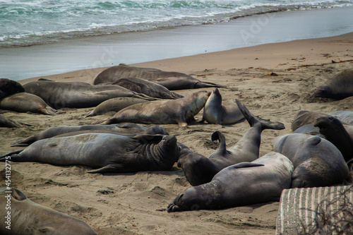 Billede på lærred Elephant seals colony on the shore of the California coast   Elephant seals at P