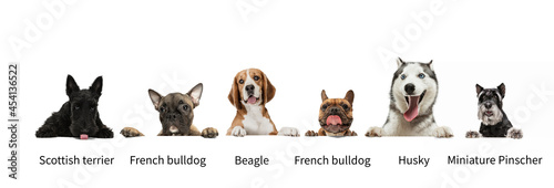 Tablou Canvas Horizontal collage made of popular purebred dogs isolated over white studio background