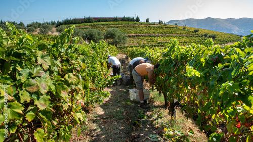 Obraz na plátně Farmers at the harvest, picking the grapes