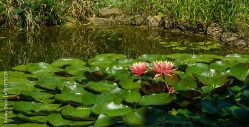 Obraz na plátně Landscaped garden pond with two pink orange water lily or lotus flower Perry's Orange Sunset