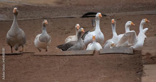 Fototapeta Gaggle of Geese 2
