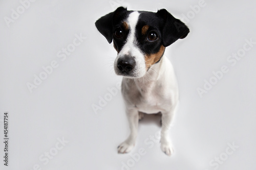 Fototapeta Portrait of a cute dog jack russell terrier breed on a white background