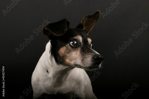 Obraz na plátně Closeup shot of cute Jack Russell Terrier on a gray background looking aside