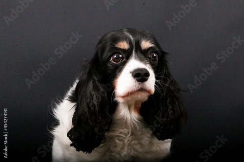 Fotomural Closeup shot of cute Cavalier King Charles Spaniel on a gray background