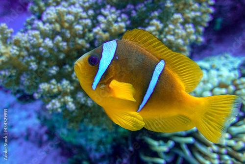 Foto Red Sea anemonefish - Red Sea clownfish  (Amphiprion bicinctus)