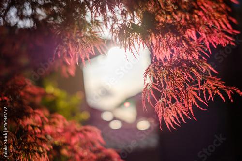 Fotografiet ベニシダレモミジ 紅枝垂れ紅葉