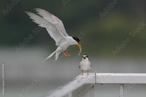 餌をくわえて颯爽と現れるコアジサシ Fototapet