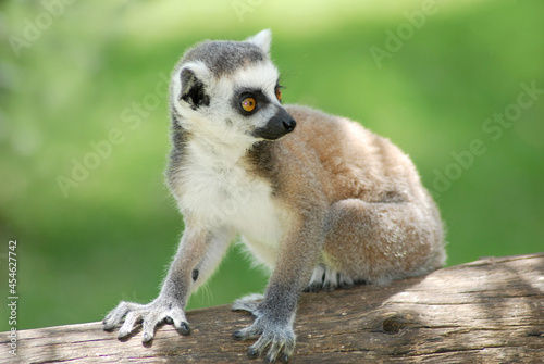 Fototapeta premium Closeup shot of a Ring-tailed lemur (Lemur catta) sitting on the branch in the forest