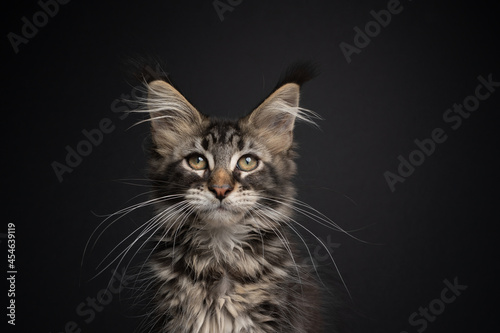 Fotografie, Obraz cute tabby maine coon kitten with long white whiskers looking at camera on black